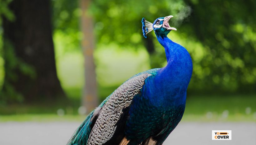 Interesting Facts about Peacock