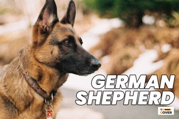 Interesting Facts about German Shepherd Dogs