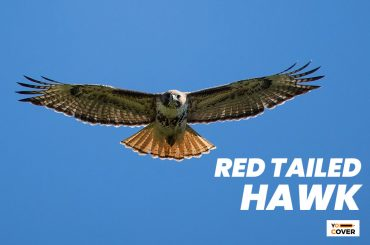 13 Interesting Facts About Red-tailed Hawk 1