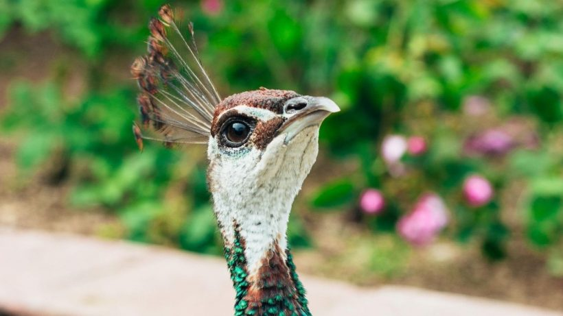 facts about peacocks