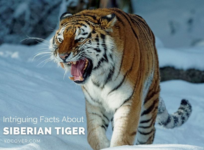 Facts About Siberian Tiger Image