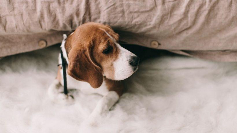 beagles love to be indoor