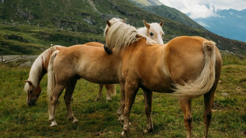 facts about palomino horses