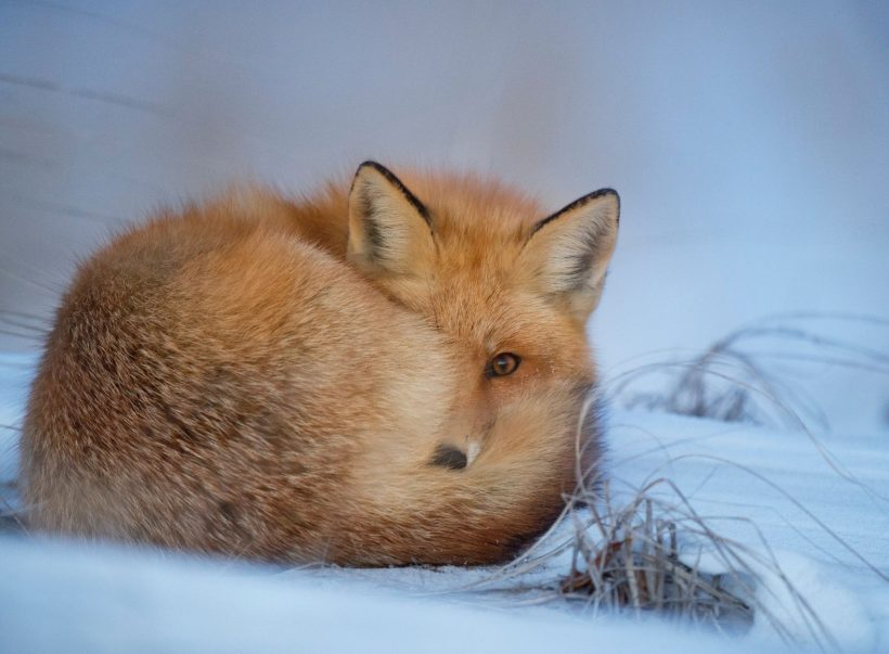 Facts about arctic fox