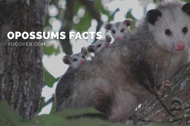 facts about opossums
