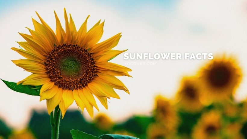 facts about sunflowers